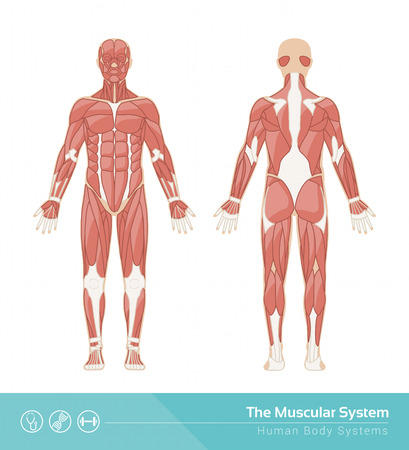 sistemas: La ilustración humana musculoso sistema de vector, vista frontal y trasera