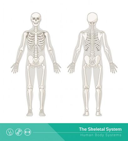 huesos humanos: El sistema esquelético humano, ilustraciones de vectores de frontal esqueleto humano y de visión trasera Vectores