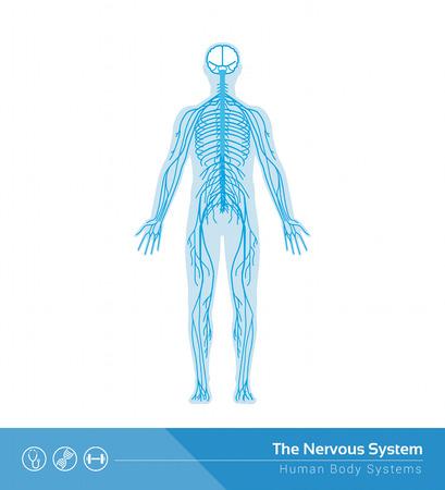 La ilustración médica del vector del sistema nervioso humano