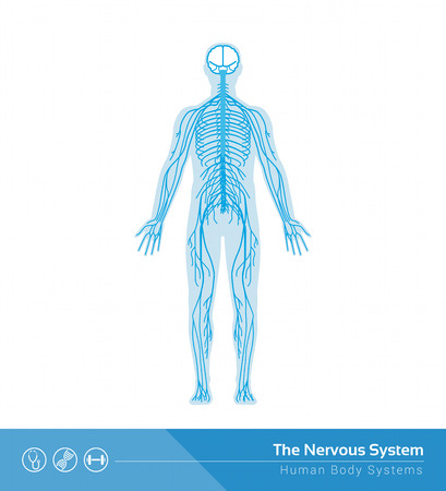 The human nervous system vector medical illustration Ilustração