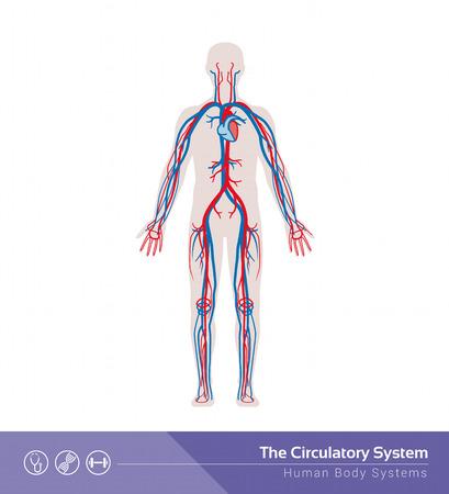 flujo: La ilustración médica sistema del cuerpo humano circulatorio o cardiovascular