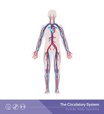 blood flow: The circulatory or cardiovascular human body system medical illustration