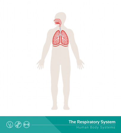 bronchioles: The human respiratory system medical illustration with internal organs