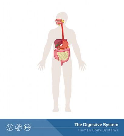 higado humano: La ilustración médica sistema digestivo humano con los órganos internos
