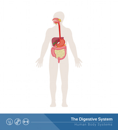 gastrointestinal system: The human digestive system medical illustration with internal organs Illustration