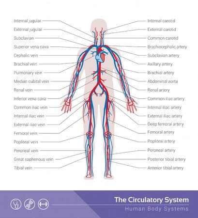 循環または心血管系人体システムの医療イラスト
