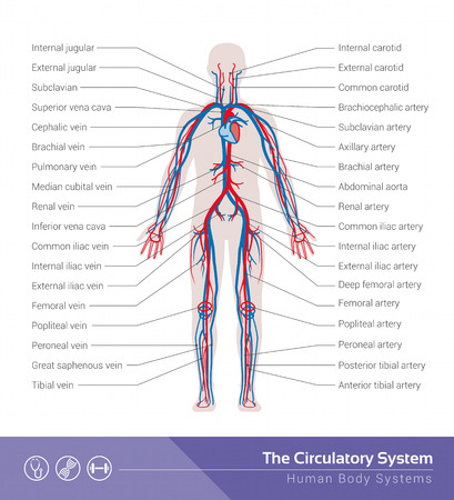 flow diagram: The circulatory or cardiovascular human body system medical illustration