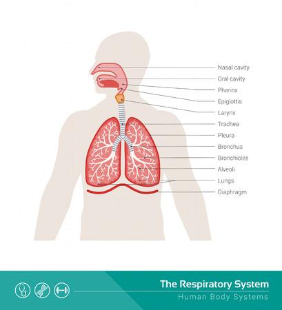 anatomie humaine: Le syst�me respiratoire illustration m�dicale humaine avec les organes internes Illustration