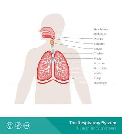 human anatomy: The human respiratory system medical illustration with internal organs