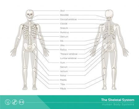scheletro umano: Il sistema scheletrico umano, illustrazioni vettoriali di fronte scheletro umano e posteriore Vettoriali