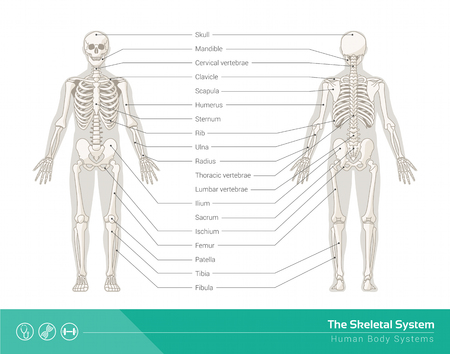 name: The human skeletal system, vector illustrations of human skeleton front and rear view