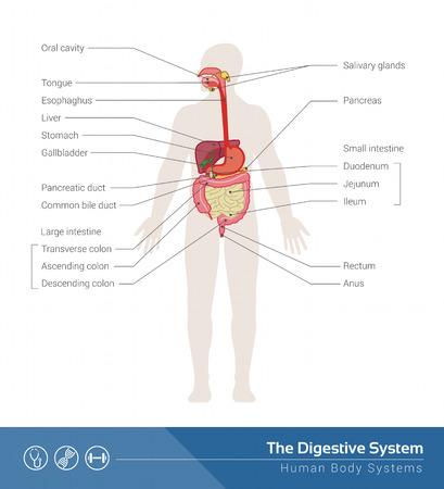 esofago: La ilustración médica sistema digestivo humano con los órganos internos