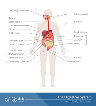 intestine: The human digestive system medical illustration with internal organs Illustration