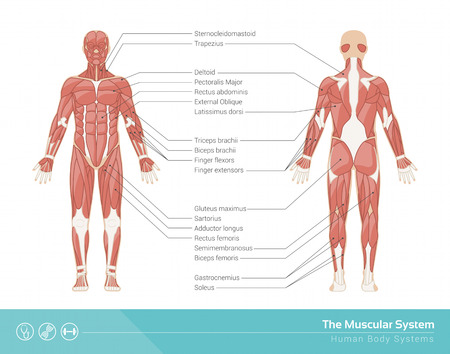 La ilustración humana musculoso sistema de vector, vista frontal y trasera