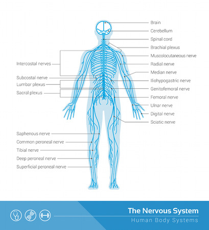 The human nervous system vector medical illustration Çizim