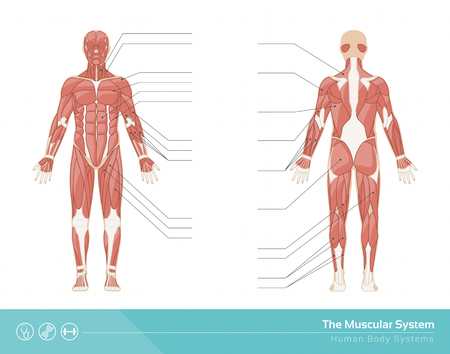 인간의 근육 시스템 벡터 일러스트 레이 션, 전면 및 후면보기