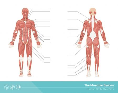 corpo umano: Il muscoloso illustrazione sistema vettore umano, anteriore e posteriore