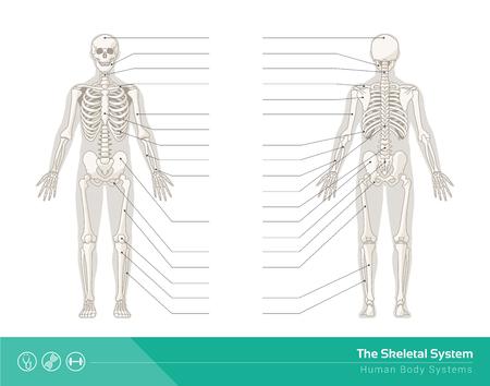 人間の骨格系、人間のスケルトンの前面と背面のベクトル イラスト  イラスト・ベクター素材