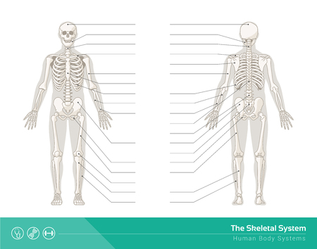 El sistema esquelético humano, ilustraciones de vectores de frontal esqueleto humano y de visión trasera Foto de archivo - 46608459