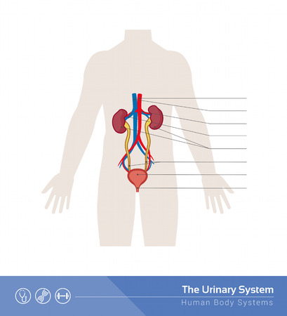 labeled: The human urinary system medical illustration with internal organs