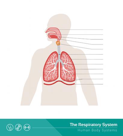 pleura: The human respiratory system medical illustration with internal organs