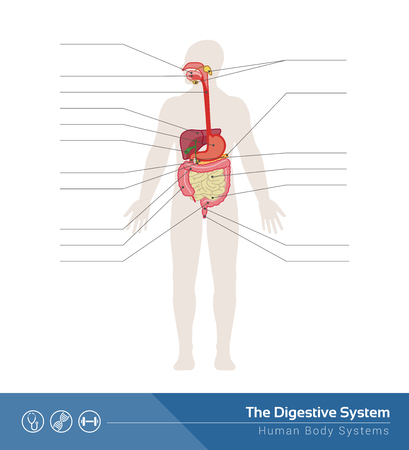The human digestive system medical illustration with internal organs Vectores