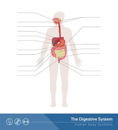 The human digestive system medical illustration with internal organs Ilustracja