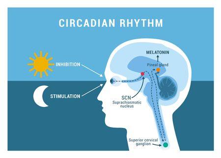 The circadian rhythm and sleep-wake cycle: how exposure to sunlight regulates melatonin secretion in the human brain and body processes