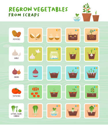 Regrow vegetables from scraps infographic: home gardening, zero waste and organic healthy food concept