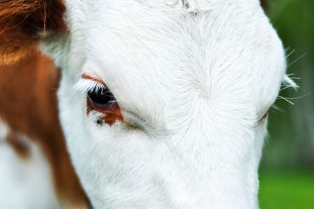 Cow calfs eyes