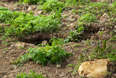 Cute wild gophers looking out of hole. Altai, Siberia