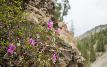 Rhododendron ledebourii flowering on the rocks of Altai mountains