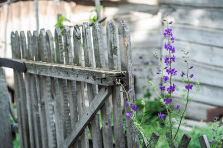 picket green: Purple flowers at background of old wooden fence.