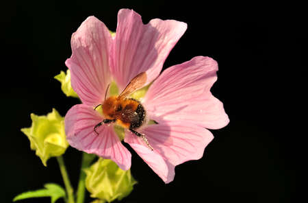 splotchy: Bumblebee splotchy with pollen on pink wildflower isolated on black background Stock Photo
