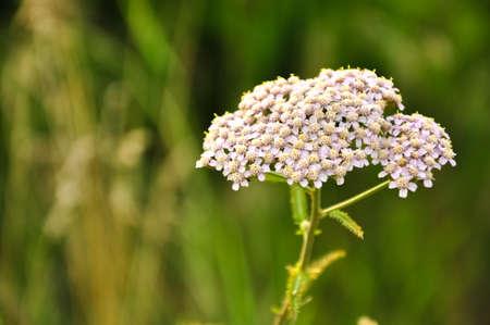 milfoil: Milfoil flowers macro photo. Medical herbs. Alternative medicine