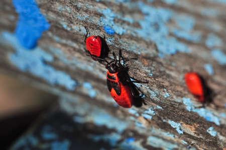 Colony of red firebugs closeup macro photo. Stock Photo