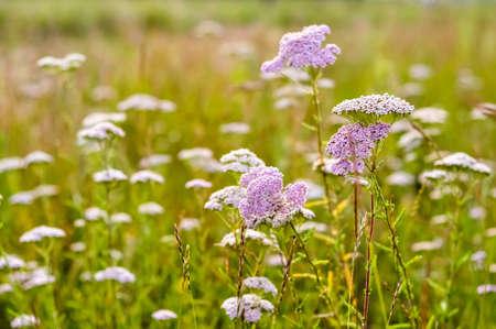 milfoil: Milfoil flowers in sunny meadow macro photo. Medical herbs. Alternative medicine.