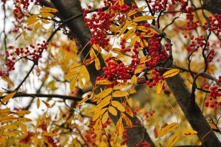 rowanberry: Red rowan berries. Golden yellow autumn leaves. Stock Photo
