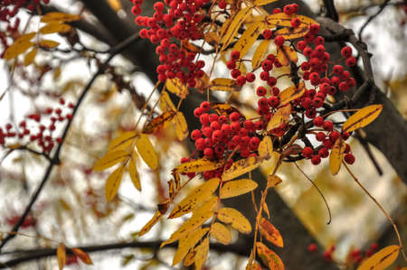 Red rowan berries. Golden yellow autumn leaves. Stock Photo