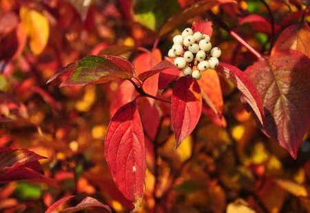 Svidina, dogwood, white telikraniya,Cornus alba berries macro photo