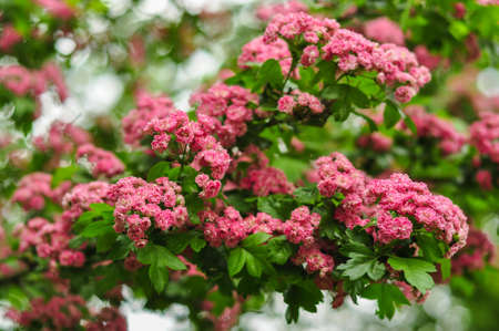Pink Hawthorn flowers. Blooming haw branches. Spring macro photo. Stock Photo
