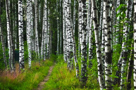 Summer landscape. Footpath in beautiful birch forest in Russia.