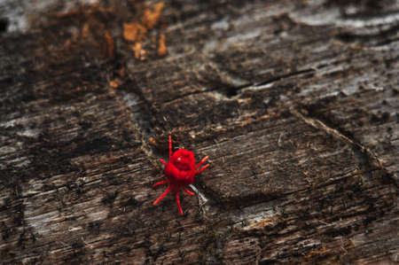 Red Velvet Mite or Rainbug on the wood