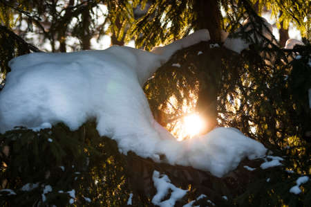 Snowed Pine branches in sun light. Winter sunset in the forest