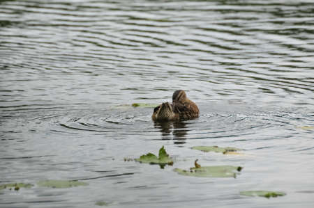 Duck swimming on the lake water surface.