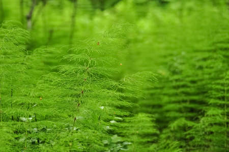 Green horsetail grass, equisetum herb, medicinal plant.