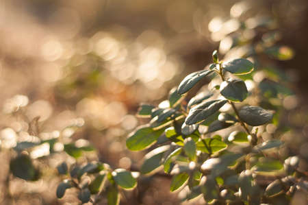 Lingonberry foliage in sunset light. Cowberry leaves macro photo. Stock Photo