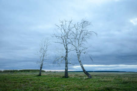 Dry, dead birches on the green field, against the cloudy sky Stok Fotoğraf