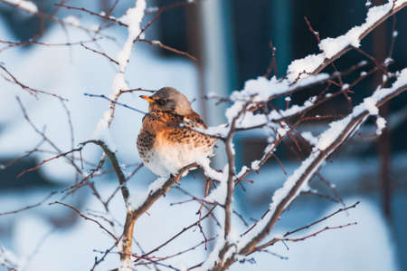 Thursh bird sit at the snowed branches.