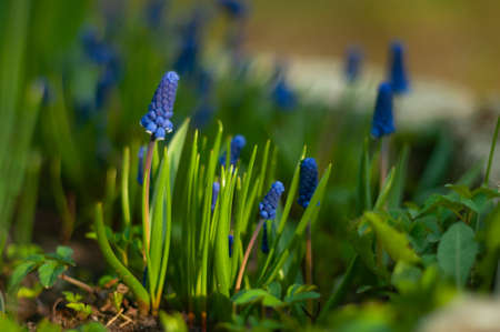 Young muscari flowers in the green blooming garden
